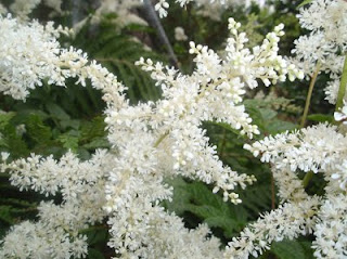 flor del astilbe