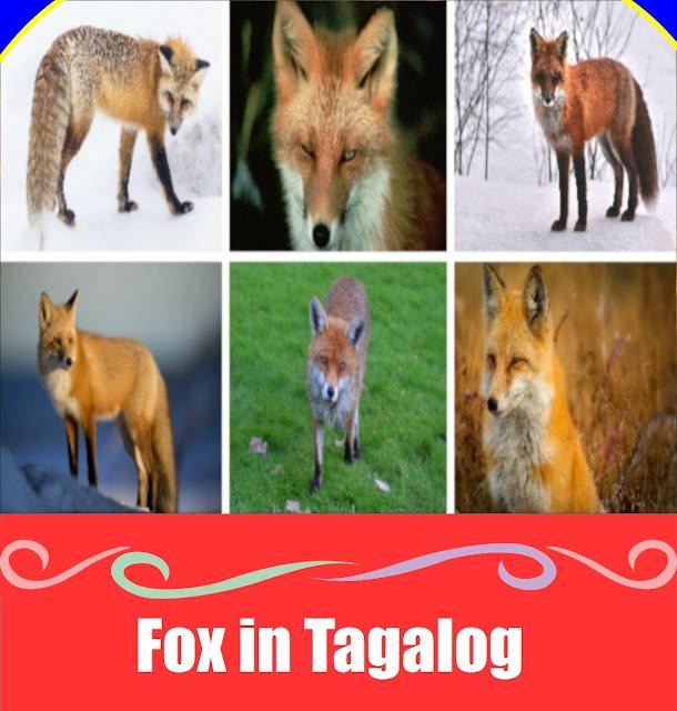 Fox in Tagalog