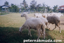 Domba Ekor Gemuk domba lokal indonesia