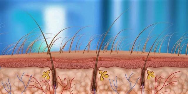 penampang folikel rambut