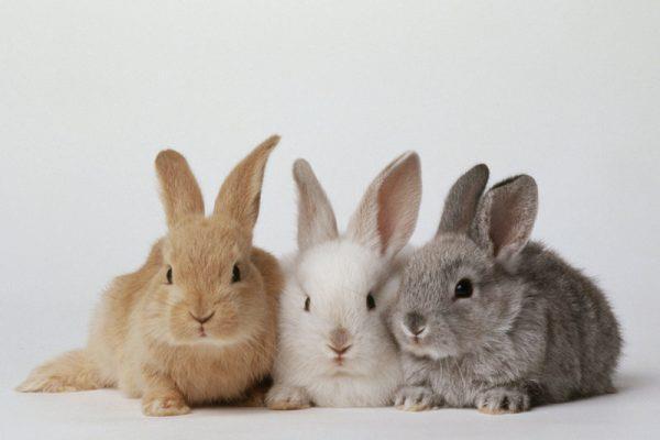 الأرانب: التوالد- الصغار- الغذاء- مساكن الأرانب- مساكن الأرانب