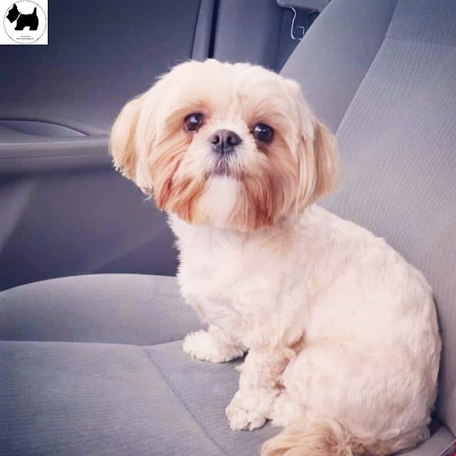 Cutest Dog Breeds, Best Dog, maltese Shih Tzu Dog