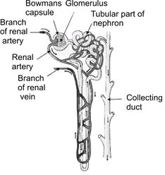 Structure of nephrons