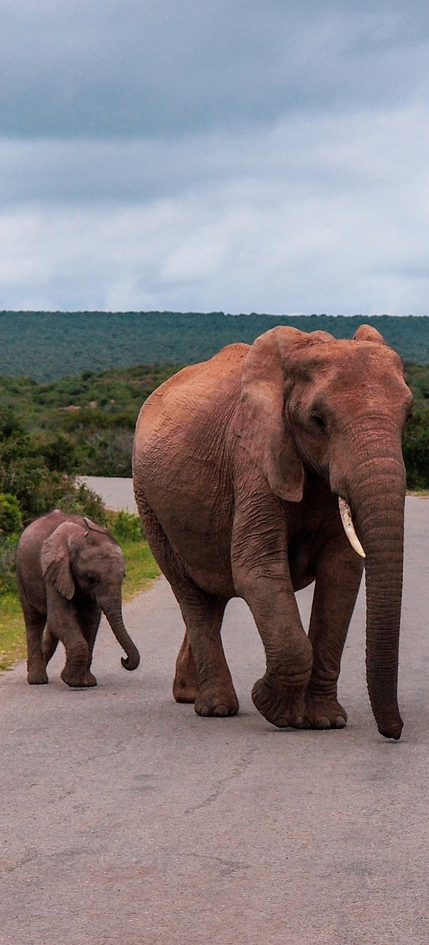 Elephant mother and baby crossing road.
