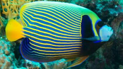 ikan hias anglefish