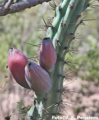 Cardón (Cereus aethiops)
