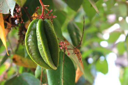 Manfaat buah belimbing untuk kesehatan badan