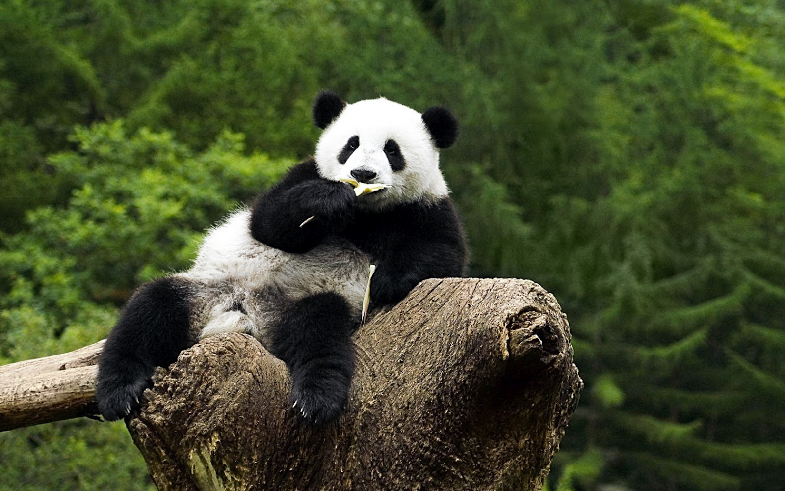 Hd Pictures Of Cute Animals: Animals Wallpapers: HD Cute Panda Wallpapers 2012