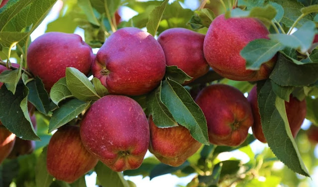 How a few good apples spawned today's top varieties, and why breeders must branch out