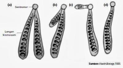 Jenis kromosom berdasarkan panjang lengannya.