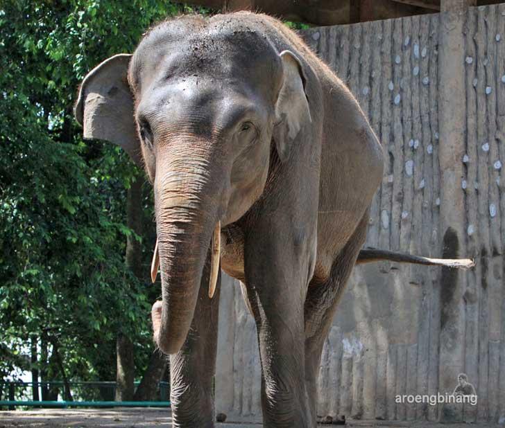 gajah sumatera kebun binatang ragunan jakarta