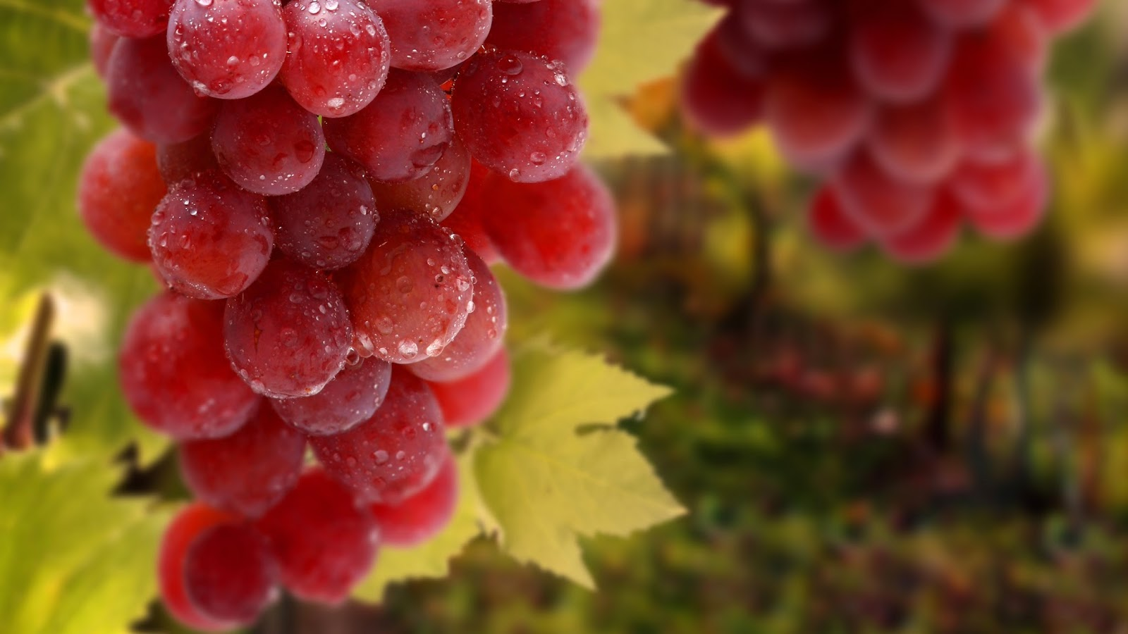 80 Gambar Anggur Merah Hd Paling Bagus