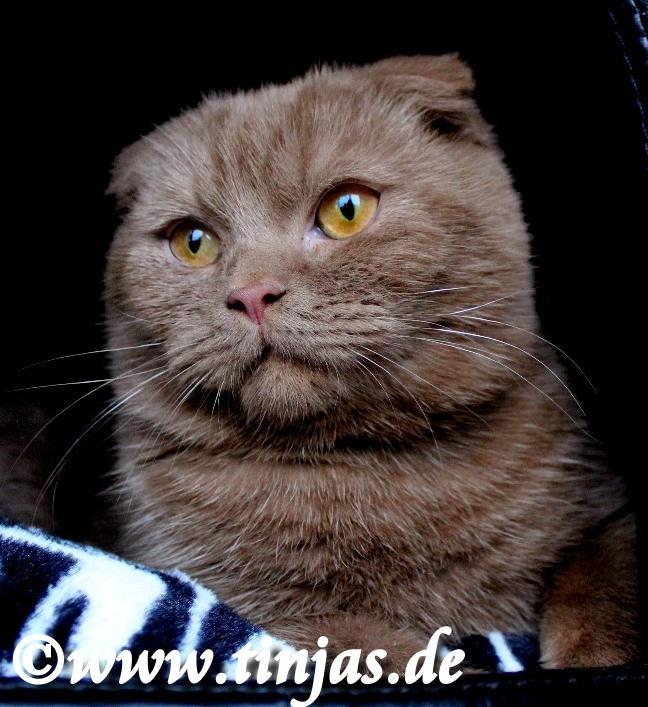 Scottish Fold cinnamon aus der Tinjas Katzenzucht