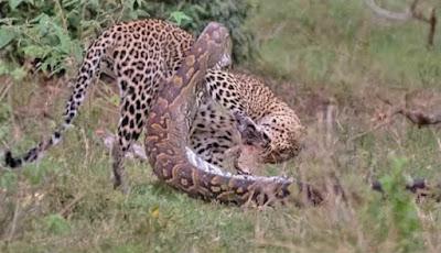 Ular piton vs macan tutul
