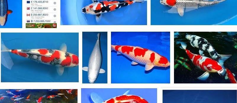 Ini Dia Harga Ikan Koi Termahal di Dunia Laku Milyaran