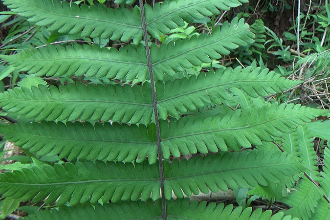 Dlium Soft fern (Christella dentata)