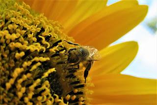Perilaku unik lebah melukai daun