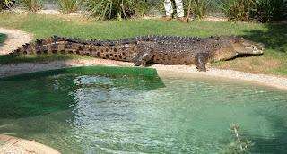 Crocodylus porosus identified with dinosaurs
