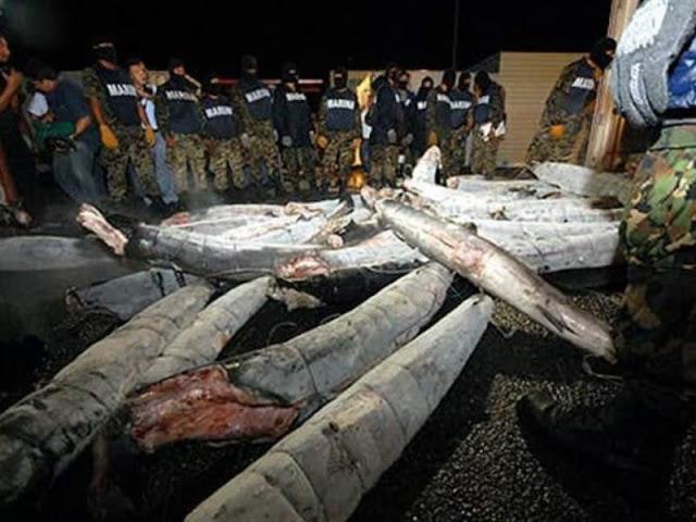 Los tiburones congelados de El Chapo Guzmán , así es como el capo con su ingenio trafica droga a EU