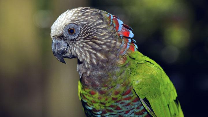 hawk-headed-parrot-breeders