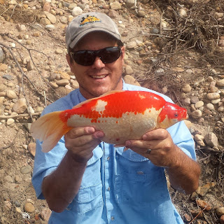 Large Goldfish Caught on The Fly