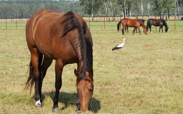 Grazende bruine paarden in het weiland