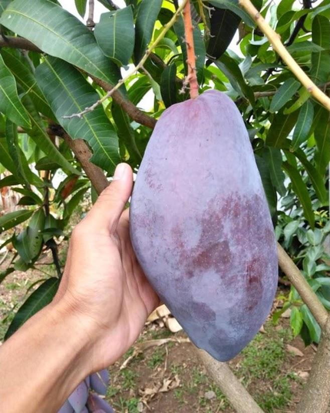 Bibit tanaman mangga red emperor VALID BELI 3 BONUS BIBIT ANGGUR Kediri