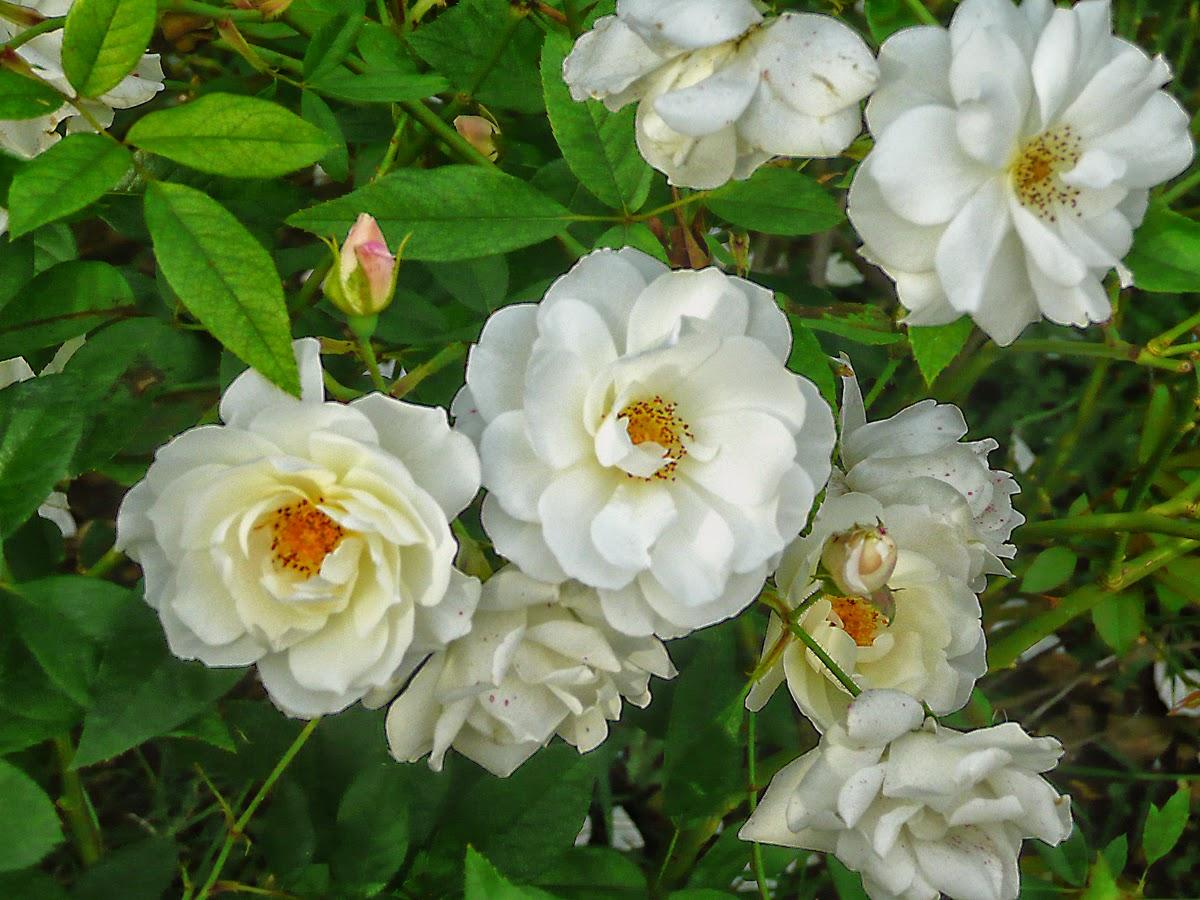 Pimpollo y flores blancas.