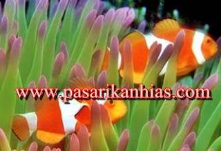 Jenis Ikan Hias Untuk Aquarium Air Laut