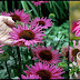 Echinacea: A Natural Remedy Against Cold Symptoms