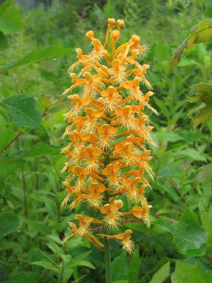 orange fringed orchid