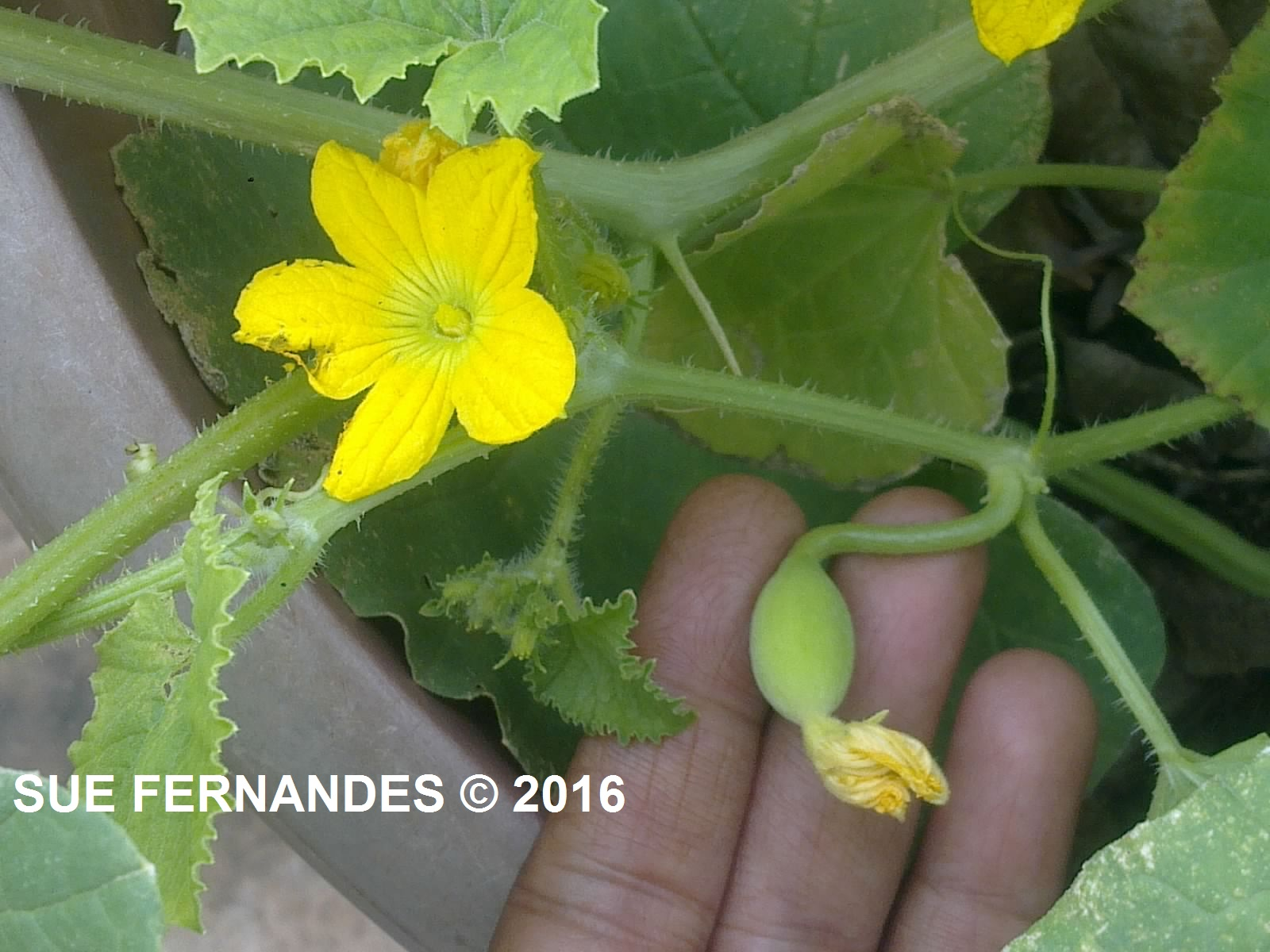 Plants Growing In My Potted Garden Growing Field Marrowmadras
