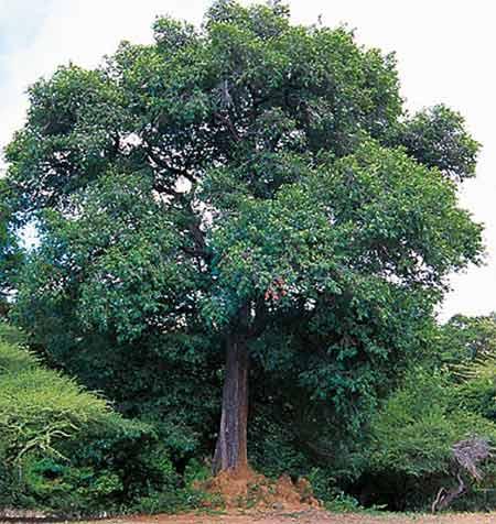Why Ceylon Ebony Tree Has Black Wood? – Story In Hinduism
