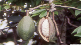 Kapok fruit images wallpaper