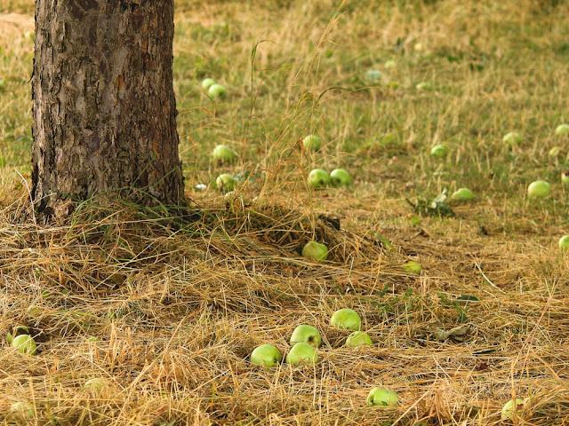 Buah, cabang, atau bahkan batang sewaktu-waktu dapat jatuh