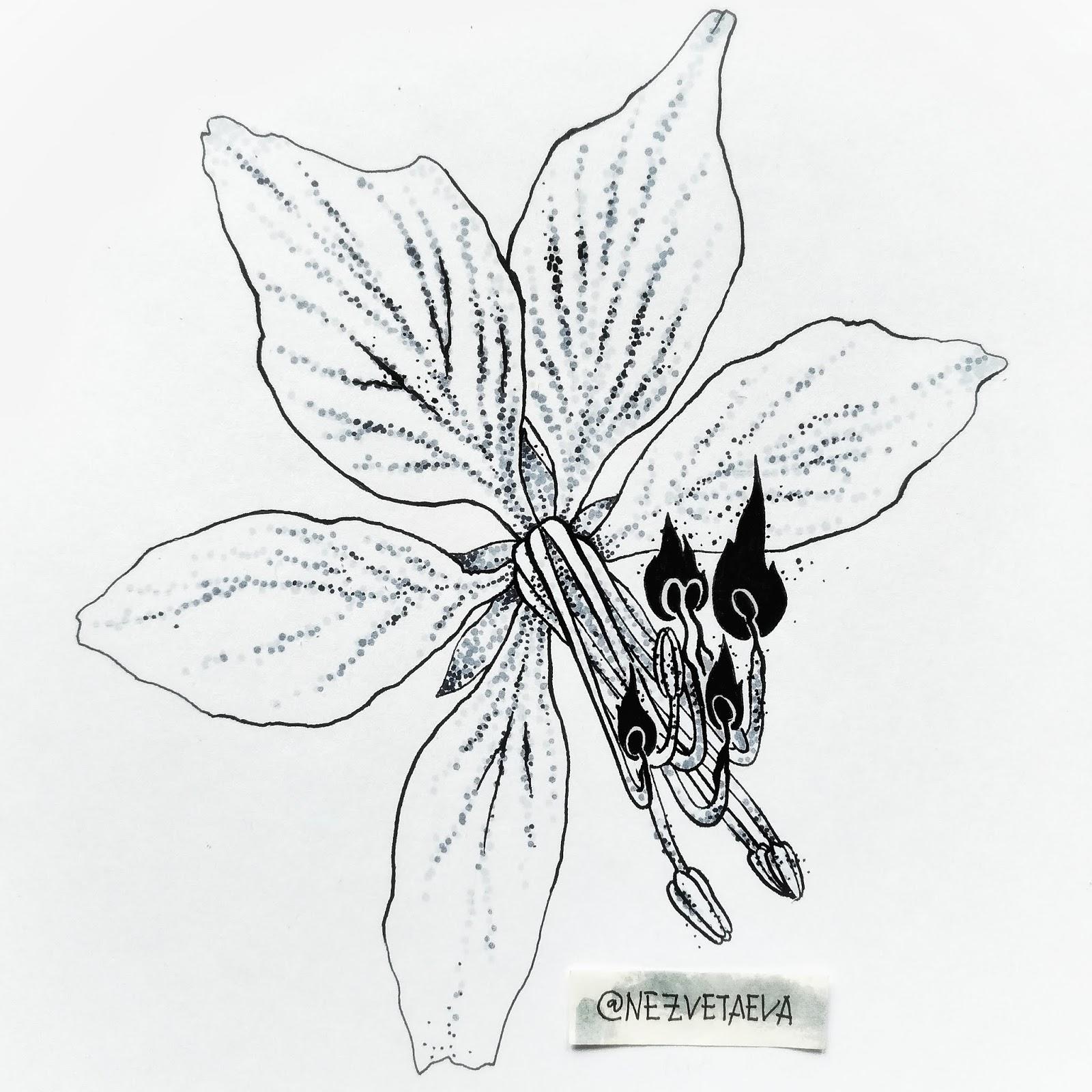 sonia-nezvetaeva-inktober2018-dictamnus-dotwork-sketch