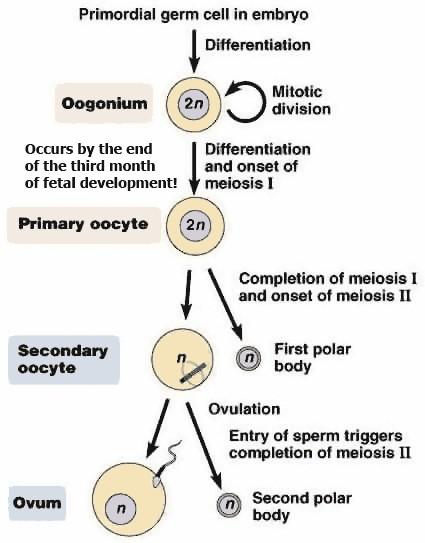 Oogenesis yang terbentuk dari sel primordial
