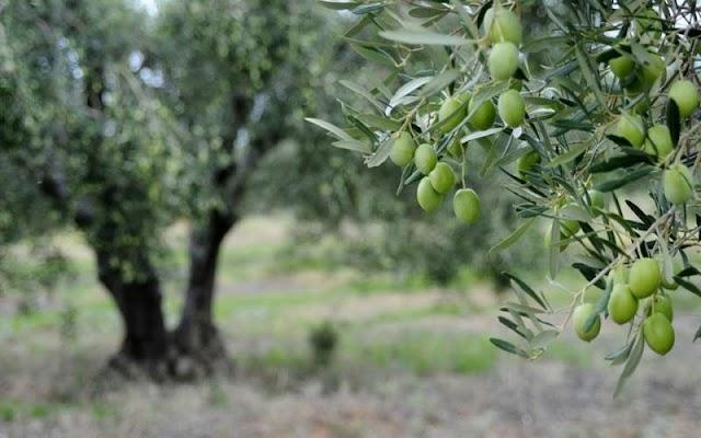Χαλκιδική: Μειωμένη έως και 80% η φετινή παραγωγή πράσινης ελιάς