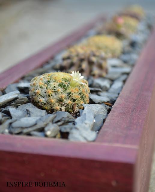Mammillaria schiedeana - Handmade Wood Box Cactus planter - Designer Cactus and Succulent Planters Garden Design Inspire Bohemia - Miami and Ft. Lauderdale Succulent Business