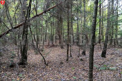 Снова кельтский лес