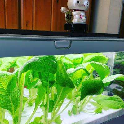#水耕栽培 #家庭菜園 #大阪しろな