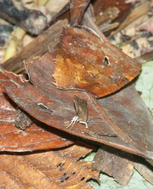 moth sp