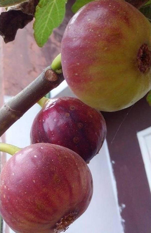 bibit tin merah jumbo jenis RED PALESTINE fresh cangkok bibit pohon tin Palu