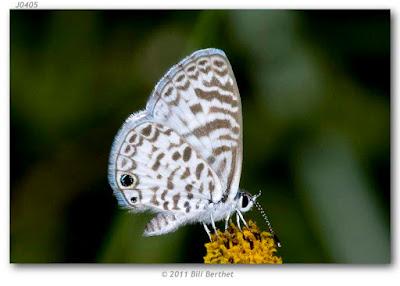 Mariposa azul lilácea (Leptotes cassius)