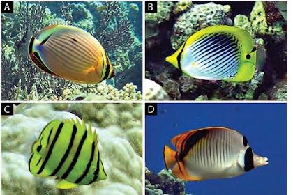 Jenis-Jenis Ikan Karang di Perairan Kepulauan Togean