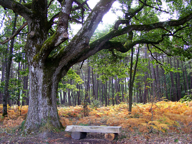A bench by an oak in the forest. Indre et Loire. France. Photo by Loire Valley Time Travel.