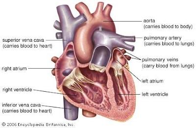 Gambar  . Jantung Manusia