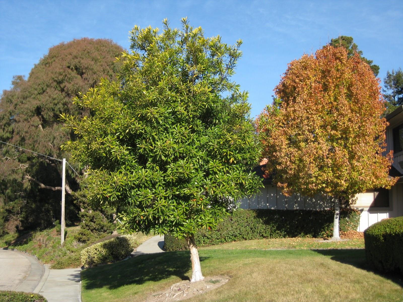 Trees Of Santa Cruz County: Tristaniopsis Laurina
