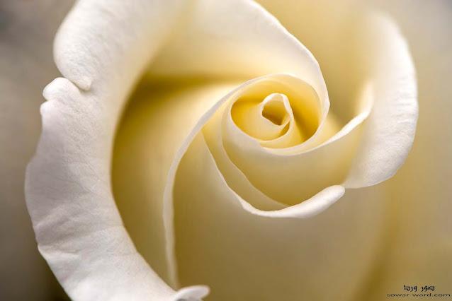 خلفيات ورود بيضاء و خلفيات ورد جميل