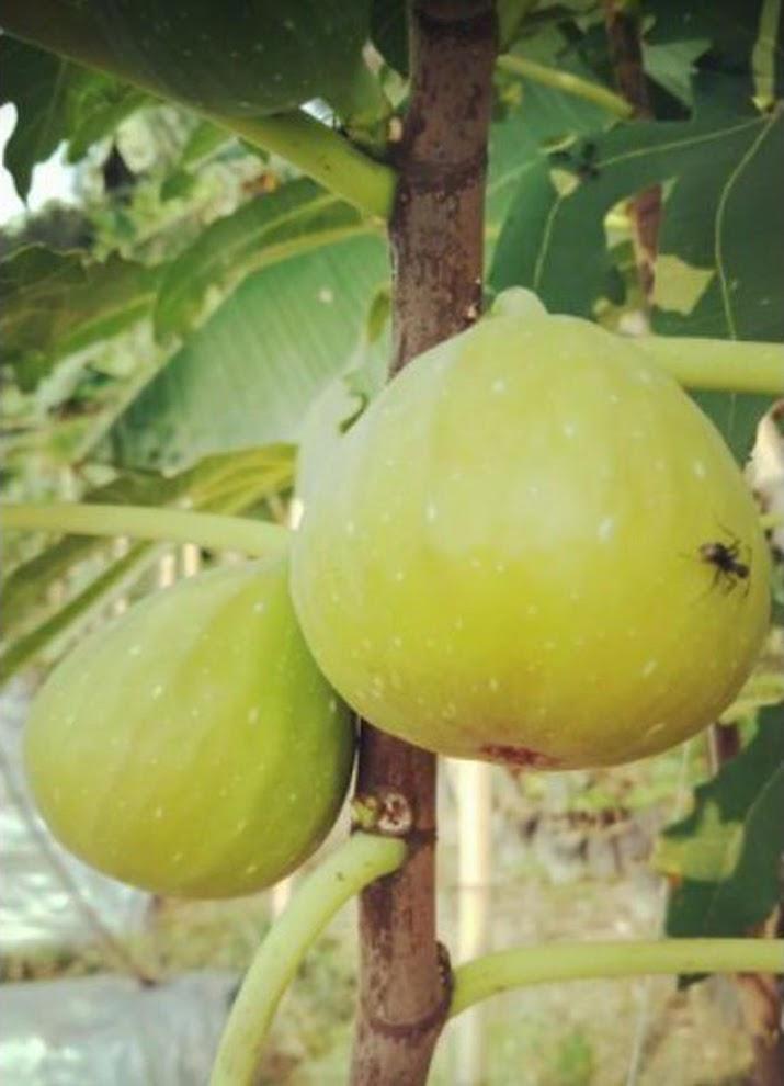 bibit buah tin ara fresh cangkok jenis LDA Serang
